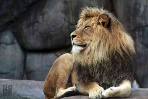 Picture of a Lion at the Oregon Zoo